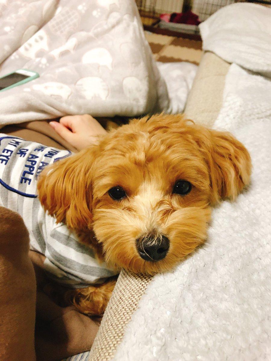 #マルプー #ミックス犬 #わんこ  #Dog  #愛犬 #犬のいる暮らし   火曜日、お疲れ様でした!!  先日は…宣伝ツイートにいいね👍&RT、😭ほんとありがとうございました😆✨ おかげさまでチャンネル登録者数40名突破いたしました🐶💗 これからも皆さま宜しくお願いします🙇