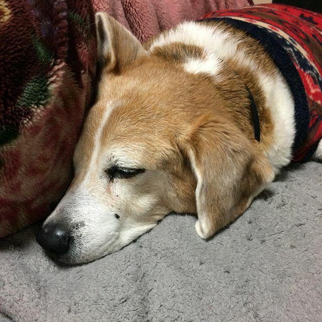 布団を占拠中。 #grouchospeaks #beaglelovers #ビーグル大好き #Jacques #beagleinstagram #dog #犬 #seniordog #シニア犬 #olddog #老犬 #myfamily #myson #dogstagram #kyoto #京都