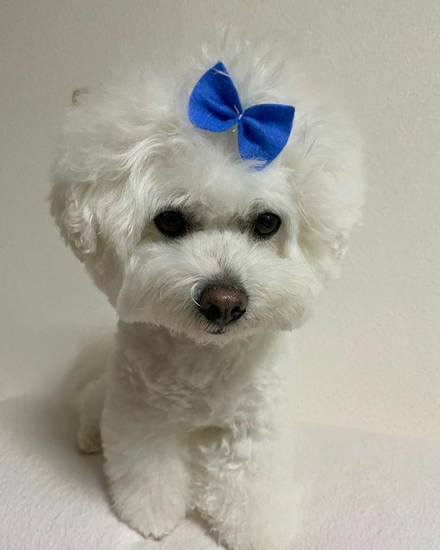 僕…男の子なんだけどなぁ〜🎀笑 可愛さに男の子も女の子も関係ないのです😍❤️ #ビションフリーゼ #おしゃれ #りぼんっ子 #可愛い #癒し #ふわふわ #dog #犬好きな人と繋がりたい