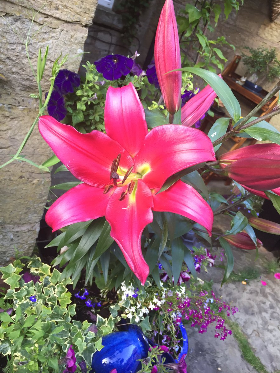 @5Naureen I grew these Goliath lilies last year: they are called Purple Prince and this year should grow to 2.5m