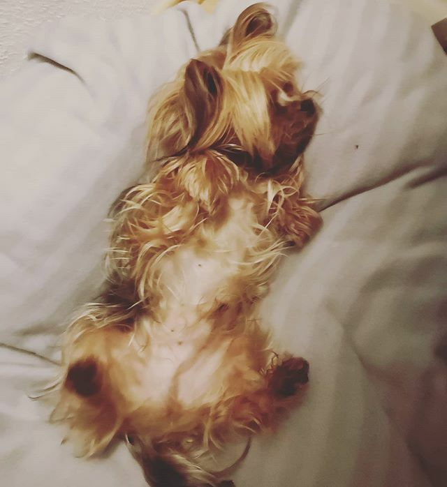 Schaut mal meinen dicken Bauch an  . . . #miro #relaxed #relaxtime #relax #herzaufvierpfoten #yorkie #yorkshire #yorkshire_terrier #petstagram #hund #dog #dogstagram #dogoftheday #yorkshireterrier #dogsofinstagram #yorkiesofinstagram #terrier #yorki… https://ift.tt/2V1BpPupic.twitter.com/nbNfRmEhxx