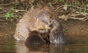 A 5-year study in Devon has shown that wild beavers cut flooding and pollution issues while boosting wildlife populations ⬇️    #Flooding #Pollution #Environment