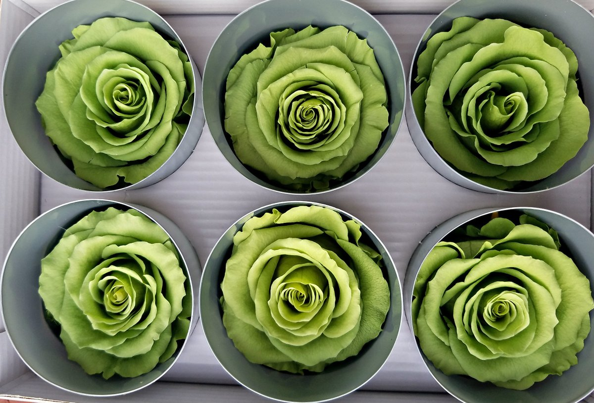 Excited to share the latest addition to my #etsy shop: Green Ecuadorian preserved roses  #housewares #homedecor #anniversary #valentinesday #weddingrose #preservedflower #wholesaleroseheads #floralsupplies #diybride