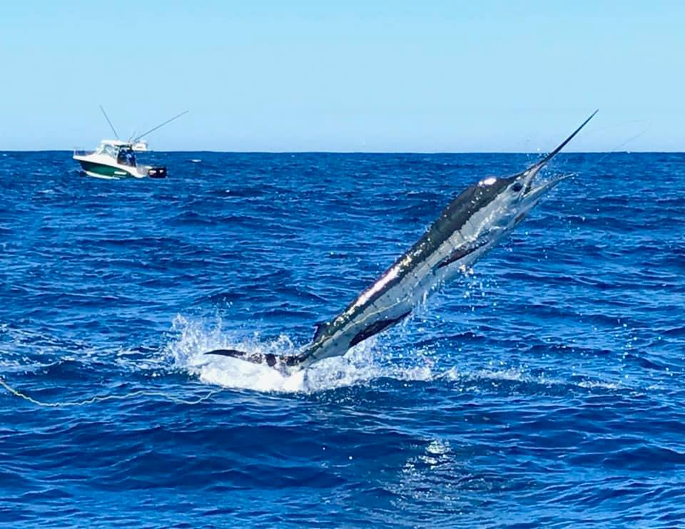 Port Stephens, Aus - Haven Charters released 24 Striped Marlin over 3-Days.