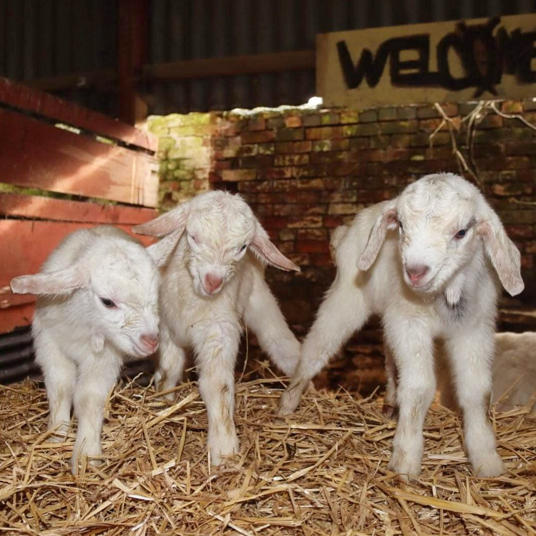 EXCLUSIVE.  First pic of @caenhillcc triplets born today at the farm. Well done to mum Clover who is now resting and farmer Chris for making sure they all arrived safely (photo by Chris)  #caenhillcc #newarrivals #babyanimals #goats #babygoats #kids #babyfarmanimals #firstphoto pic.twitter.com/mJQKfWKsvp
