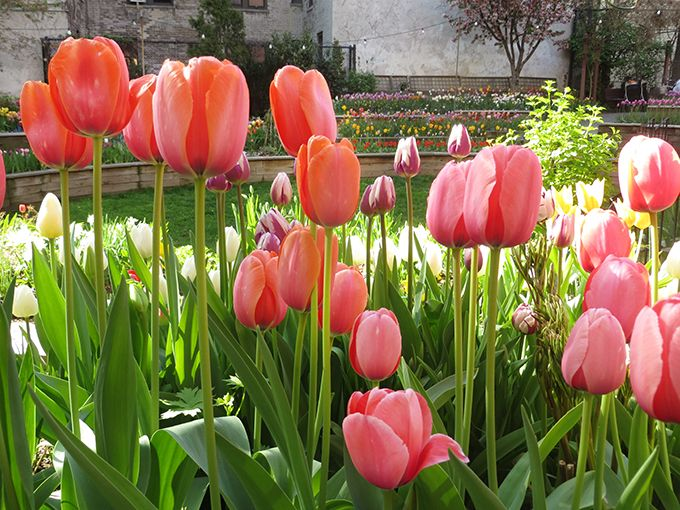 This tulip garden is at the West Side Community Garden in New York City. Can't wait to see it again this spring.  #travel #travelphoto #photo #tulips #garden #NYC #WestSide #flowers #beautiful #nature