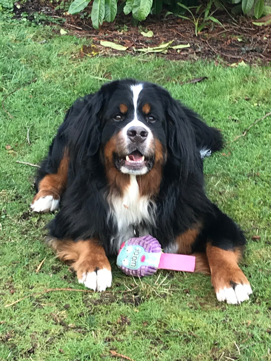 """I wish all the Democratic assholes on Twitter today would stop using the term """"Berner"""" because it's giving people who want to talk about Bernese Mountain Dogs a bad name. #bernesemountaindog #bernernotberniepic.twitter.com/bx9UI5SzPX"""