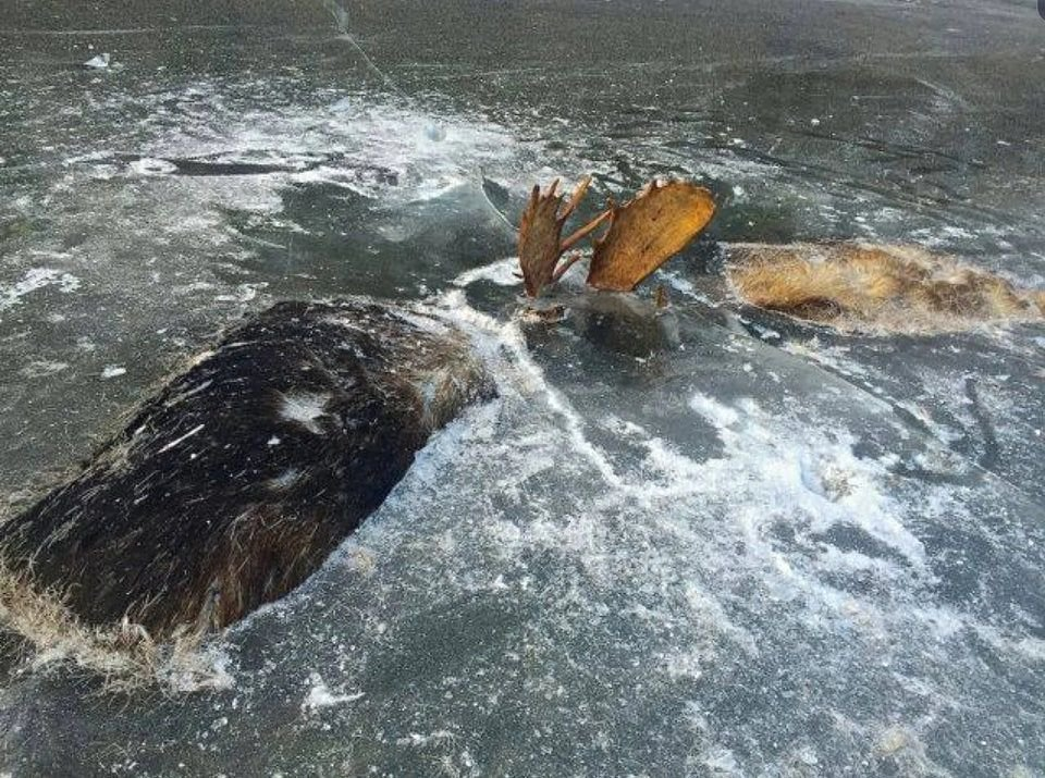 Two Male Moose that Died Fighting and Subsequently Froze Together in a Stream.
