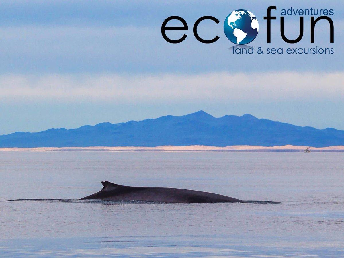 #nature #eco #fun #ecofun #adventures #whalewatch #cetaceans #seaofcortez #gulfofcalifornia #whales #boat #cruise #family #ride #sunset  #ecofunadventures #aventurasecofun #travel #cometorockypoint #safe #safemexico #safetravel #vivamexico #mexicoseguro #vivemexico #turismo