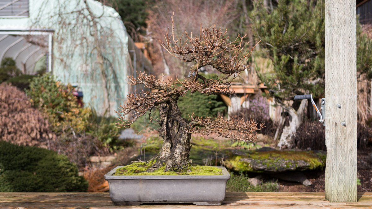 This week on #mirailive: Larch Spring Work. Pre-spring flush the optimal time to execute major shifts in larch design. Build your skills in wire application & ramification management to set up graceful transitions, thick to thin, base to tip. 6pm PST, live.bonsaimirai.com