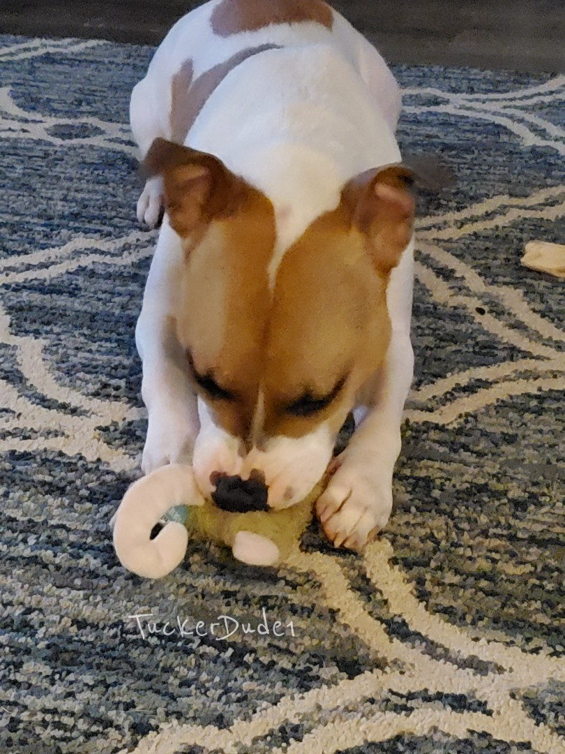 Another toy bites the dust. #pitbulls #BullyBreed pic.twitter.com/jf4y9p33NR
