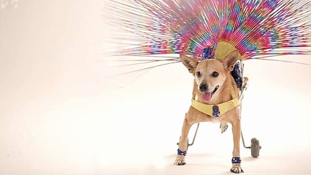Morre cadela paraplégica que viralizou na web ao imitar 'Globeleza' https://glo.bo/2T285Ga #G1