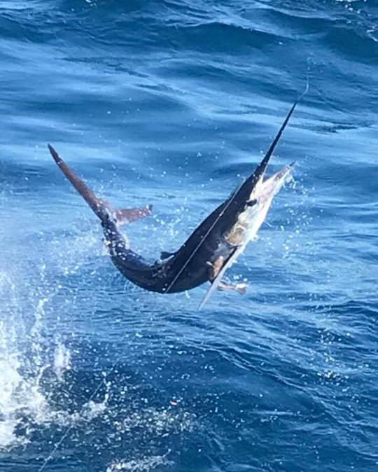 Cabo, MX - Caliente released 9 Striped Marlin.