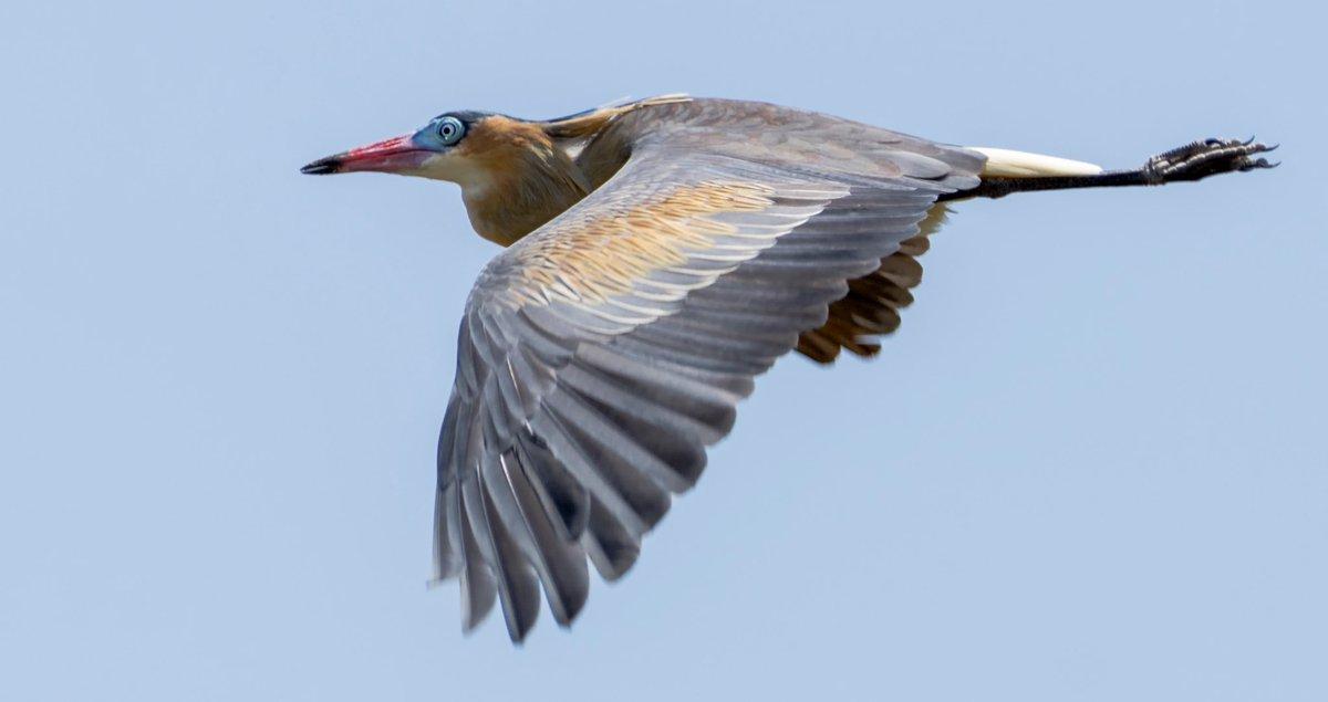Cuando la garza silbadora toma vuelo deja ver el bello patron y color de sus alas. (Syrigma sibilatrix-Casanare-Col)