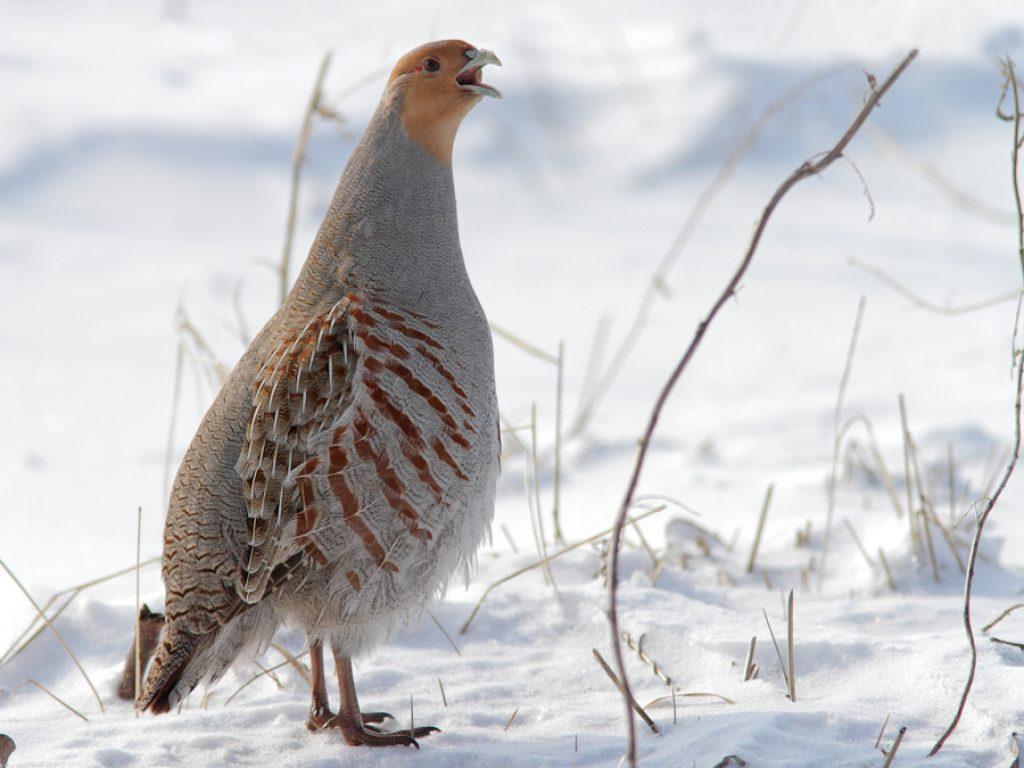 Куропатка фото птицы зимой самки