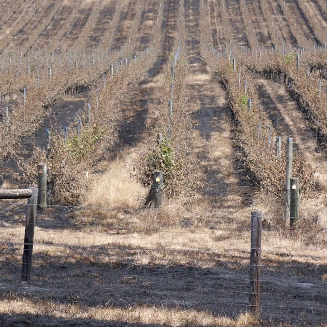 Just before Christmas I visited Barristers Block in the Adelaide Hills. Their vineyard had been devastated by bushfire a few days earlier. They're now getting back on their feet. Still a lot of work to do in the recovery but lovely to see them feeling positive about their future.