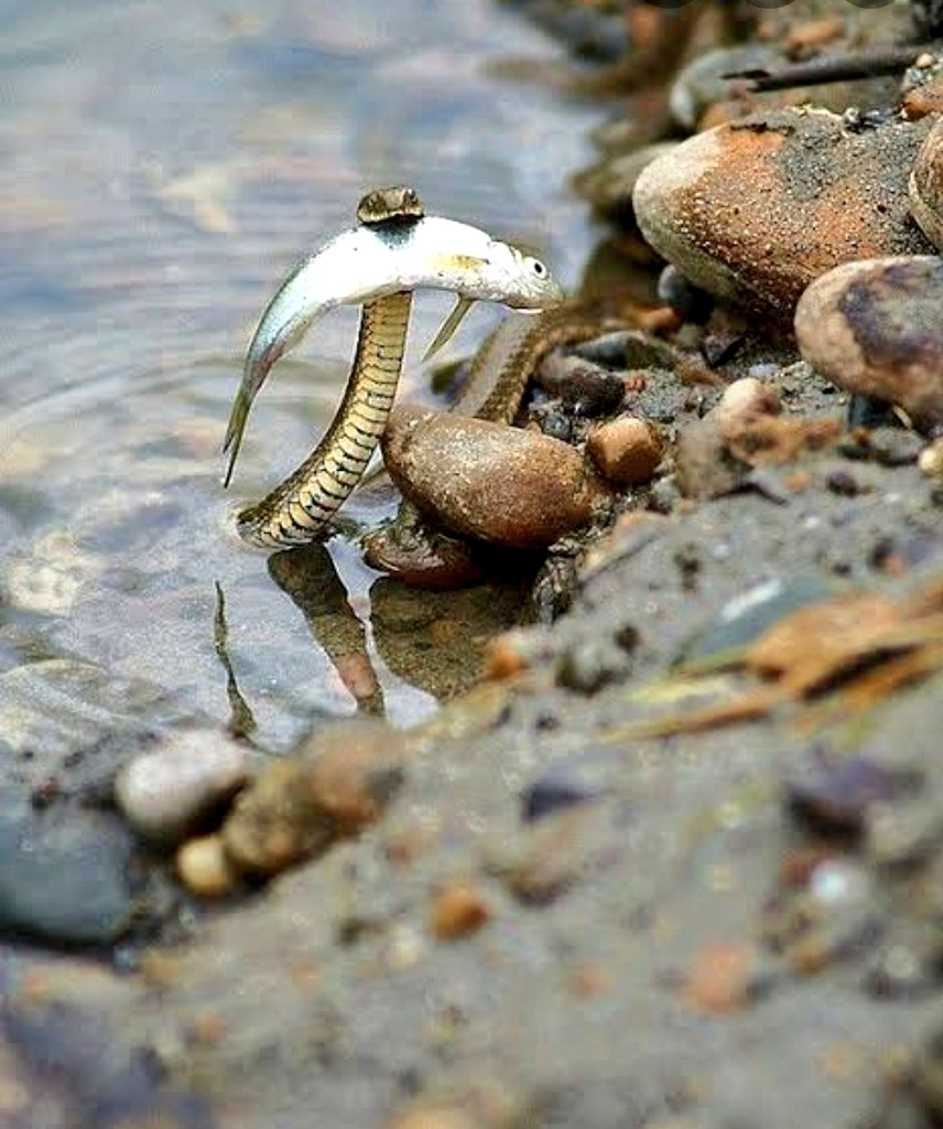 A Brave Snake saving a fish from drowning #FakeItLikeAltNews