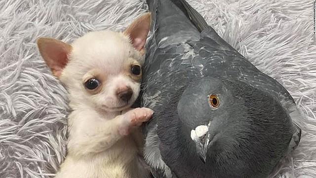 【可愛い】飛べないハトと歩けない子犬、寄り添う姿で魅了 米ハトと子犬は保護施設で引き合わせると、たちまち仲良くなったそう。一緒に遊ぶ姿が評判となり、世界中から寄付が集まっている。