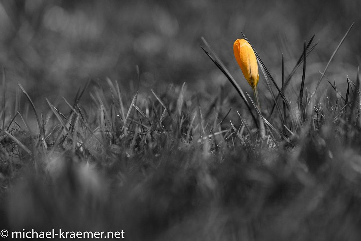 Der Einzelkämpfer #krokus #crocus #crocuschrysanthus #photography #fotografie #schwarzweissfotografie #blackandwhite #blackandwhitephotography #bnwphotography #fineart #blackandwhiteart #photooftheday #picture #pictureoftheday  #nofilter #instagoodpic.twitter.com/DH9CJvbLyy
