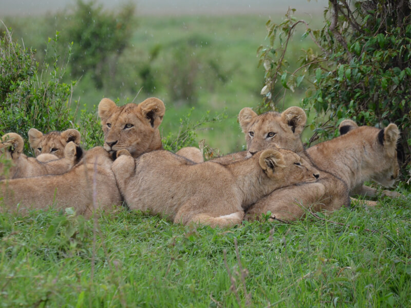 Lions are very social compared to other cat species, often living in pride that features: females, offspring and a few adult males. #VisitRwanda #Rwandalicious #RwOT https://t.co/gypHIseqAU