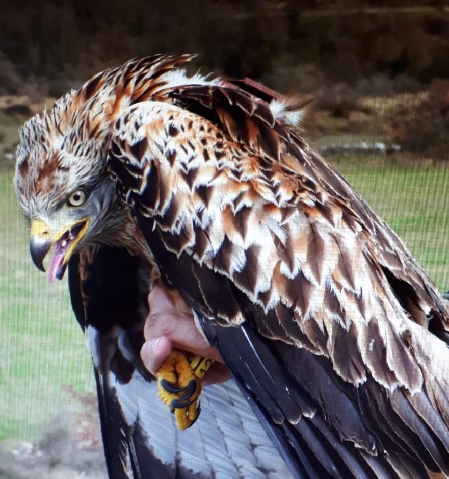 🛰️ El grupo #Hontza #Natura de #Agurain coloca 9 dispositivos de #GPS a milanos reales capturados a los pies de la #Sierra de #Urkila a la altura de #Zalduondo #LautadaComederos para estas aves rapaces en peligro de extinción#Herrian @AcoaAke https://www.eitb.eus/es/radio/radio-vitoria/programas/herrian/detalle/7040850/audio-hontza-natura-elkartea-actua-declive-milano-real/…