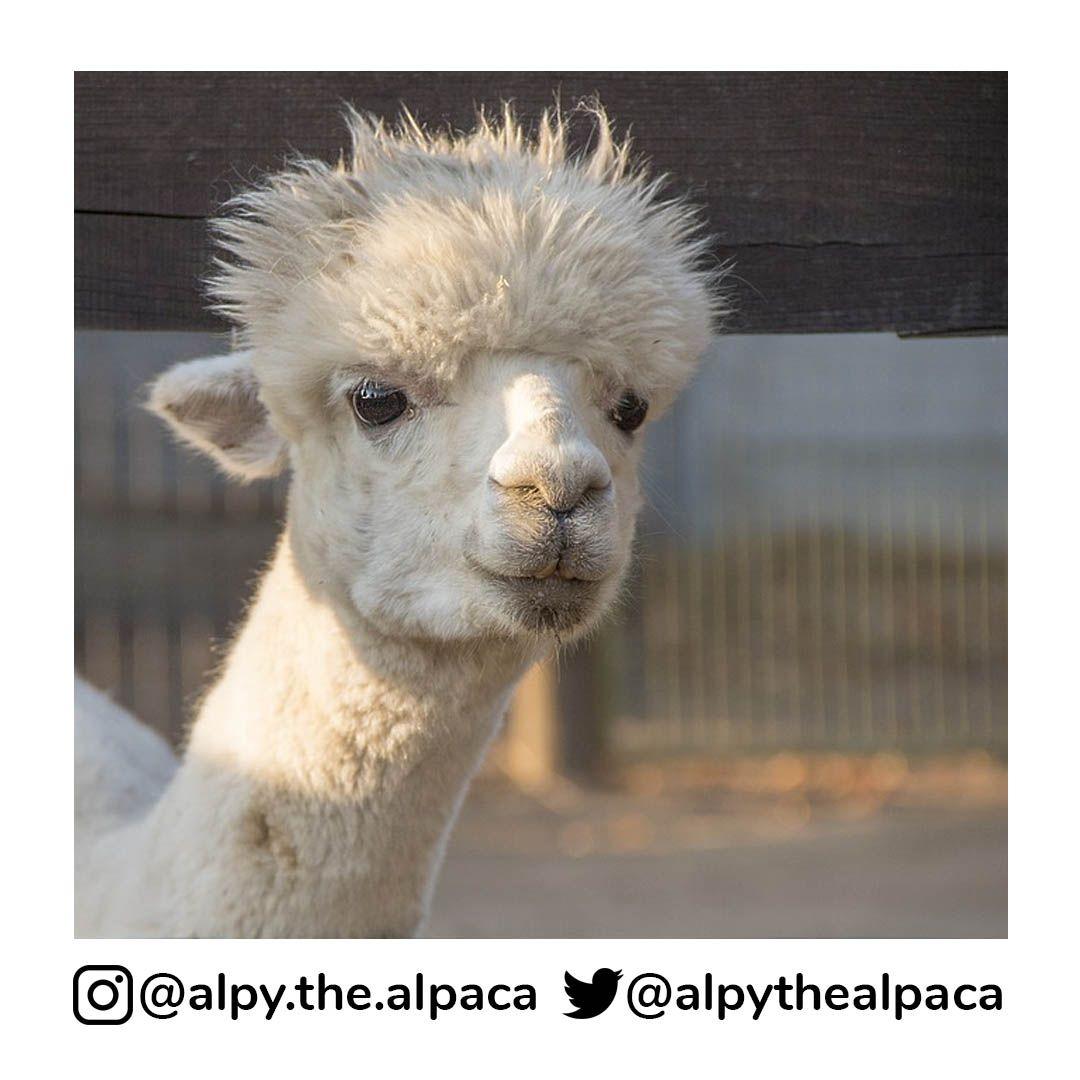 . .  DM me for Credit/Removal  . . . . . #alpy #alpy.the.alpaca #alpaca #alpacagram #alpacalover #alpacas #alpacasofinstagram #alpacaworld #dailyalpaca #lllama #llamas #alpaka #alpakas #alpaga #alpagas #アルパカ #alpacalove #альпакаpic.twitter.com/qEXDwseFZ7