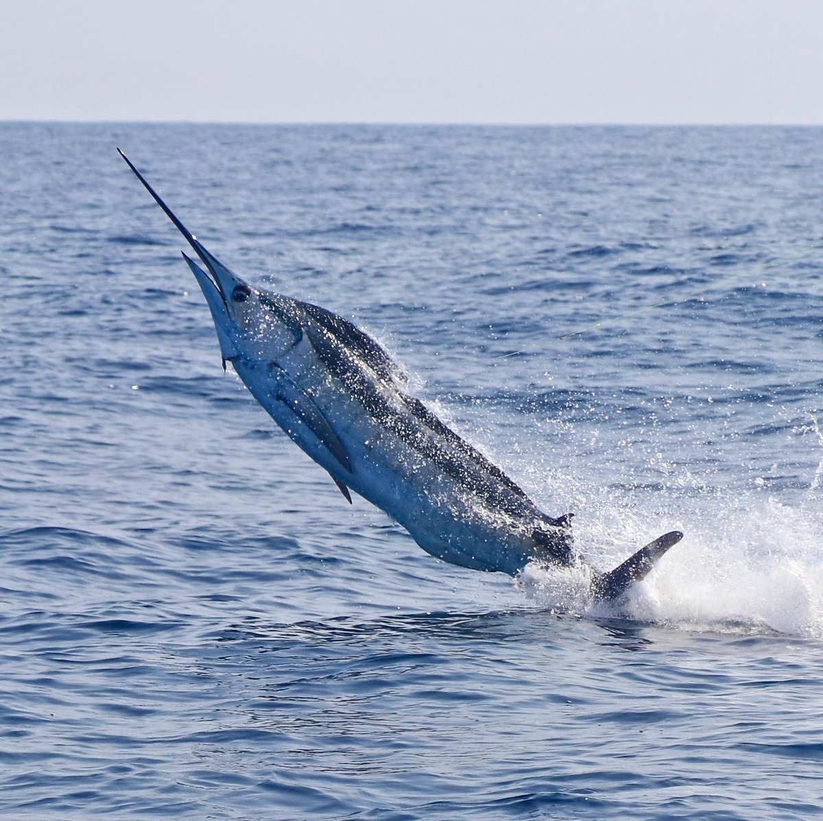 Guatemala - Both Intensity and Allure II released Blue Marlin on Fly (300).