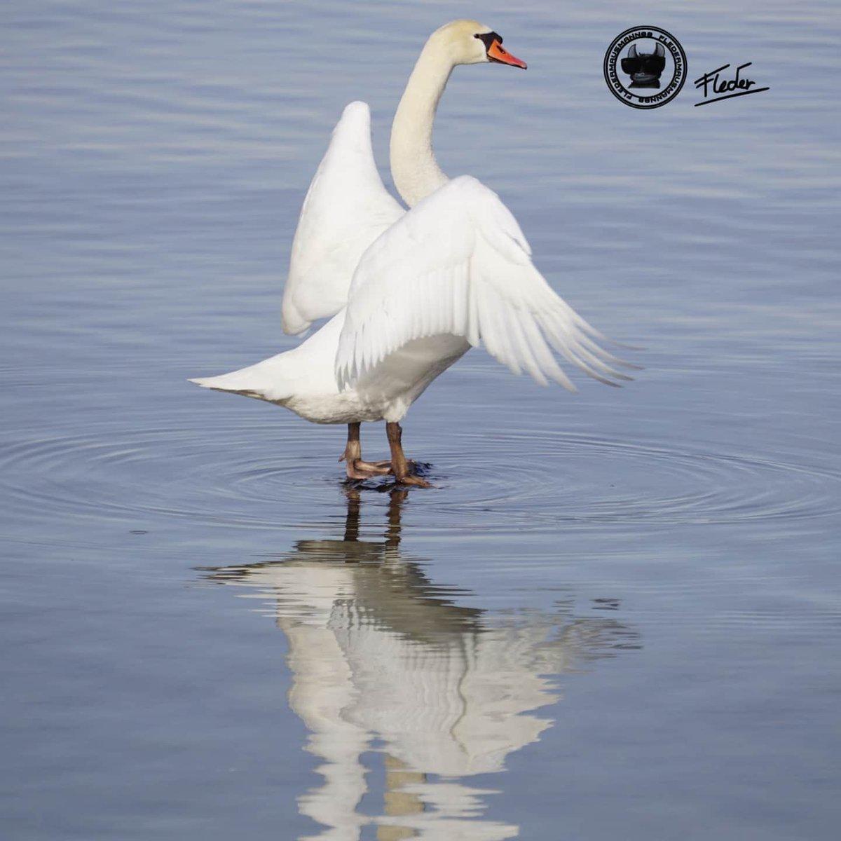 Hier auch bisschen aktiver werden ;) #sonyalpha6000#sonya6000  #photography #travelphotography #photographs #photos #fotografie #fotos #foto#naturfotografie #lake #lakelife #wasservögel #bird #birdphotography #birds_captures #swans #vogelfotografie #vogel #schwan #schwänepic.twitter.com/sHyIWM3vKo
