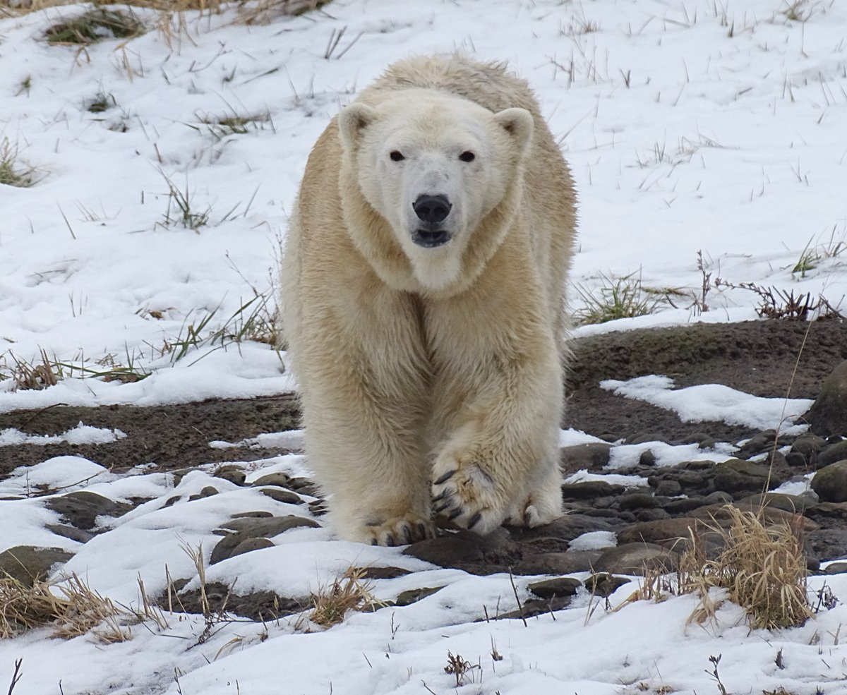 Welcome, Anana! @detroitzoo gets new polar bear in its Arctic Ring of Life exhibit. bit.ly/32di5k2