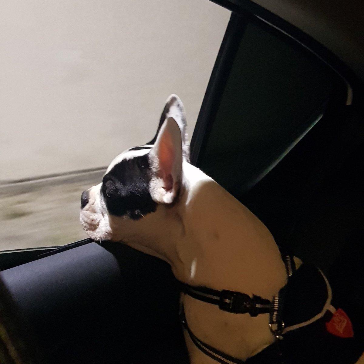 Meu decente já pode passear #Oliver #oliverdog #bulldogs #bulldogfrancês pic.twitter.com/Cz4QRYr3iz