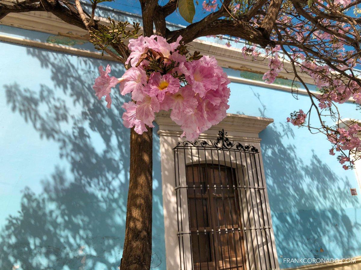 guayacán rosa (o macuil)
