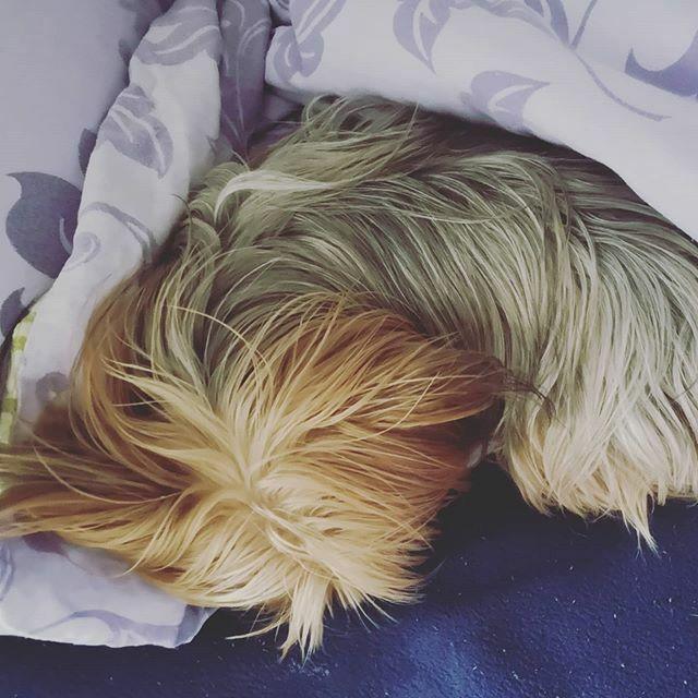 In Frauchens Bett schläft es sich am kuscheligsten  . . . #miro #bett #bed #schlaf #sleep #herzaufvierpfoten #yorkie #yorkshire #yorkshire_terrier #petstagram #hund #dog #dogstagram #dogoftheday #yorkshireterrier #dogsofinstagram #yorkiesofinstagram… https://ift.tt/37Ke4ECpic.twitter.com/guEyGYwWVq