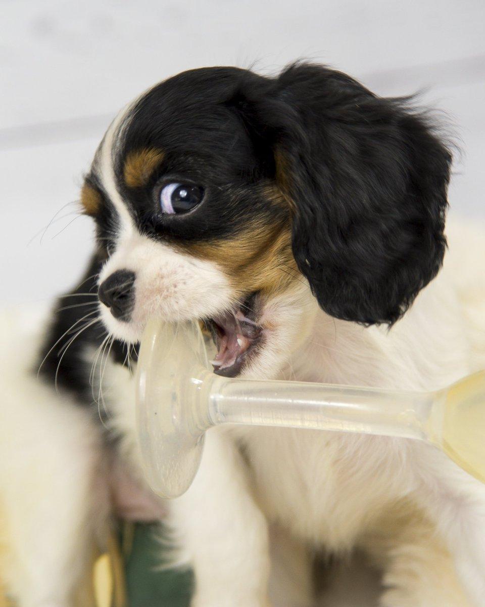 Sassy Luna puppy pics break 😍🐾🤣 #OneVoice1 #doglovers #cavalier