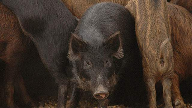 Seabrook Animal Control is warning residents about feral hog sightings in the area.  #click2houston #kprc2 #feralhogs #seabrook