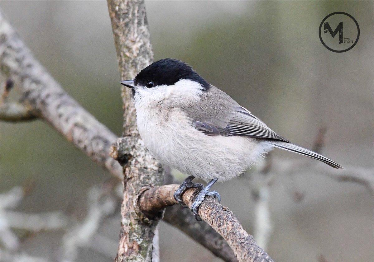 RT @MattMinnis4: Marsh Tit at Langford lakes, Wiltshire @WiltsWildlife @BTO_Wilts @Birdies_UK @BirdwatchExtra @britishbirds @UKBirdsWildlife @BBCSpringwatch @wildlife_uk @_BTO #marshtit #ukbirds #britishbirds