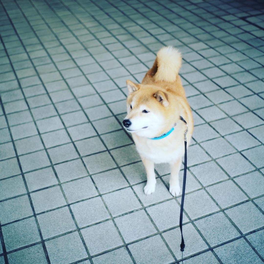 今日はなんの日だっけ🤔 ー アメブロを更新しました#柴犬まる