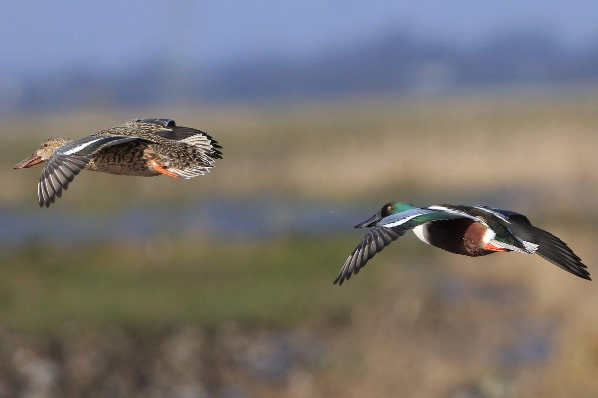 RT @Jthomas123Jay: Mr &Mrs Shoveler in flight #TwitterNatureCommunity @BirdWatchingMag @wildlifemag @bbccountryfile @Natures_Voice @BirdGuides @bbcspringwatch @wildlife_uk @BBCEarth
