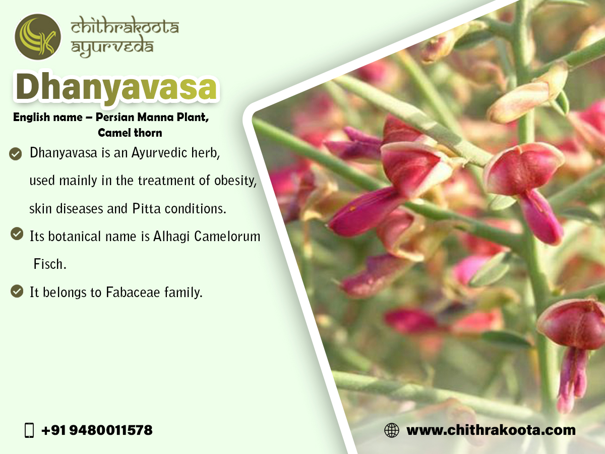 #Dhanyavasa   • #Dhanyavasa  is an #Ayurvedic  herb, used mainly in the #treatment  of obesity, skin diseases and Pitta conditions. • Its #botanical  name is Alhagi Camelorum Fisch. • It belongs to #Fabaceae  family.   http://www.chithrakoota.com   Contact us – 9480011578
