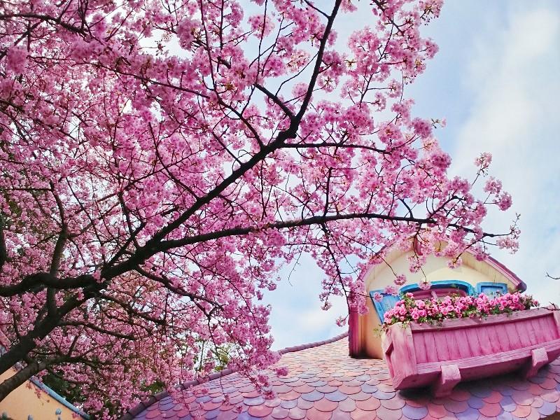 【オンタイム:TDL】ミニーの家のお庭でも河津桜が満開!去年ご紹介したのは3/9だったので、比べるとかなり早い開花ですね。屋根の色と同じメルヘンチックなピンクは かわいらしいミニーちゃんにぴったりです。- 舞浜植物図鑑 /