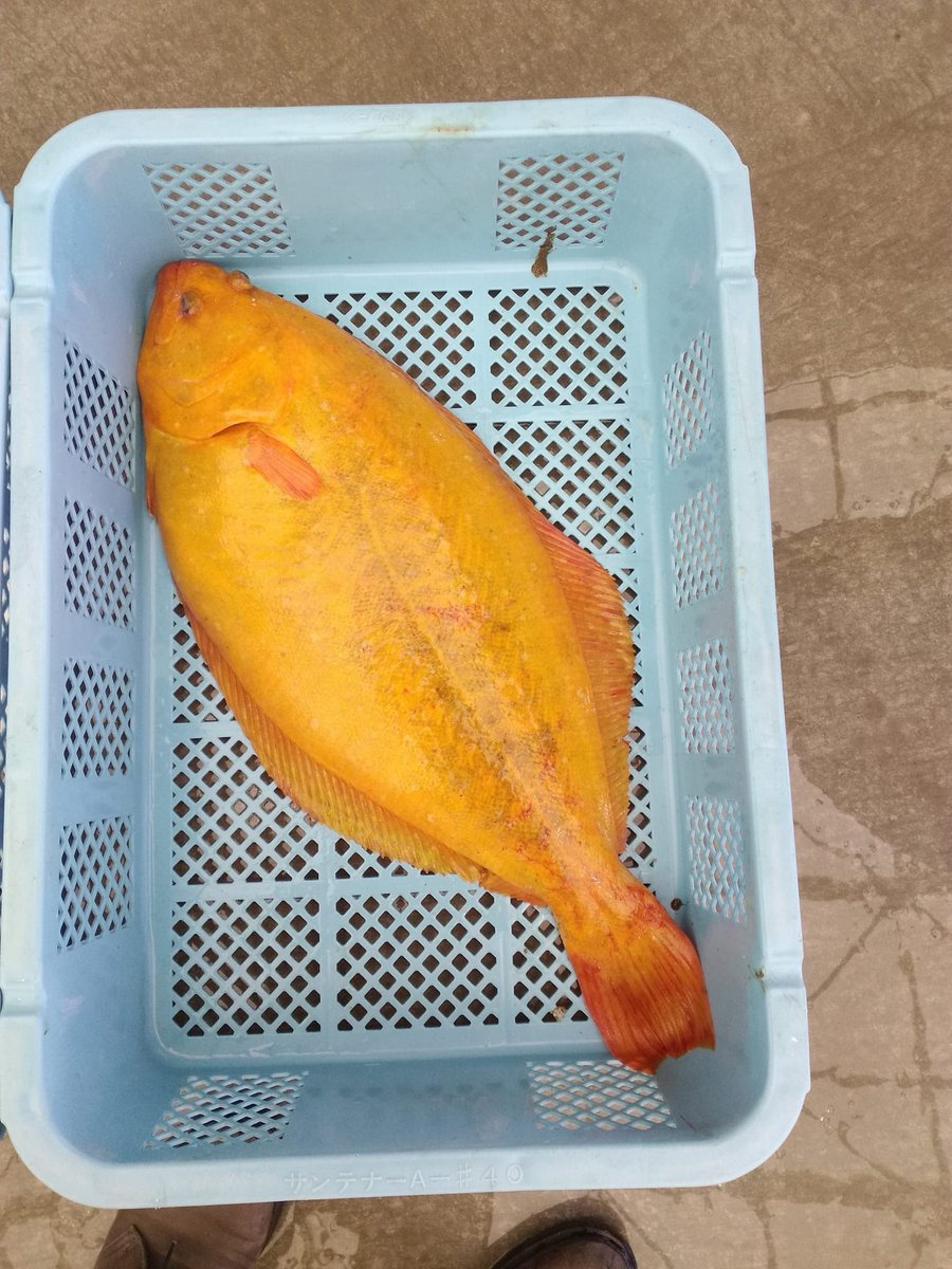 相馬原釜港に仕入れに行きましたら、金色のヒラメが上がったらしいです!見たことないと漁師さんたちも大騒ぎ~