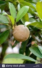 ఇప్పచెట్టు ఉపయోగాలు ఏంటంటే...  https://krupaayurvedic.blogspot.com/2020/02/madhuca-longifolia.html?spref=tw  …   #ayurveda  #ayurvedic  #telugu  #healthy  #healthytips