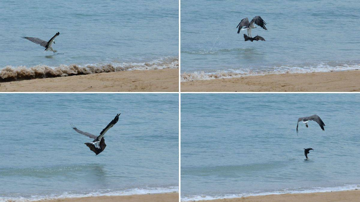 Researchers See Eagle Torturing Bat by Repeatedly Dropping It in the Ocean Or Is It A Hunting Tecnique?    #eagles #hunting #bats