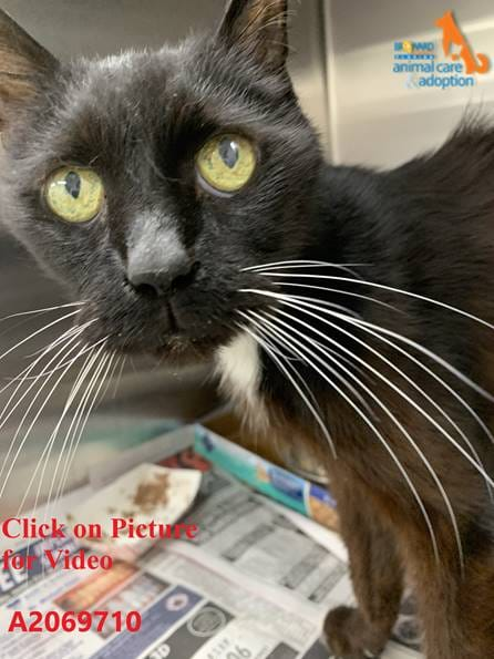 """Black grandpa kitty """"Cory"""" A2069710 won't catch a break in #LauderdaleFL without help! This chatty & sweet cuddle meister just needs some loving care & some good meals! Please adopt/foster & pledge for rescue! Email rescue@broward.org to save! VERY URGENT!"""