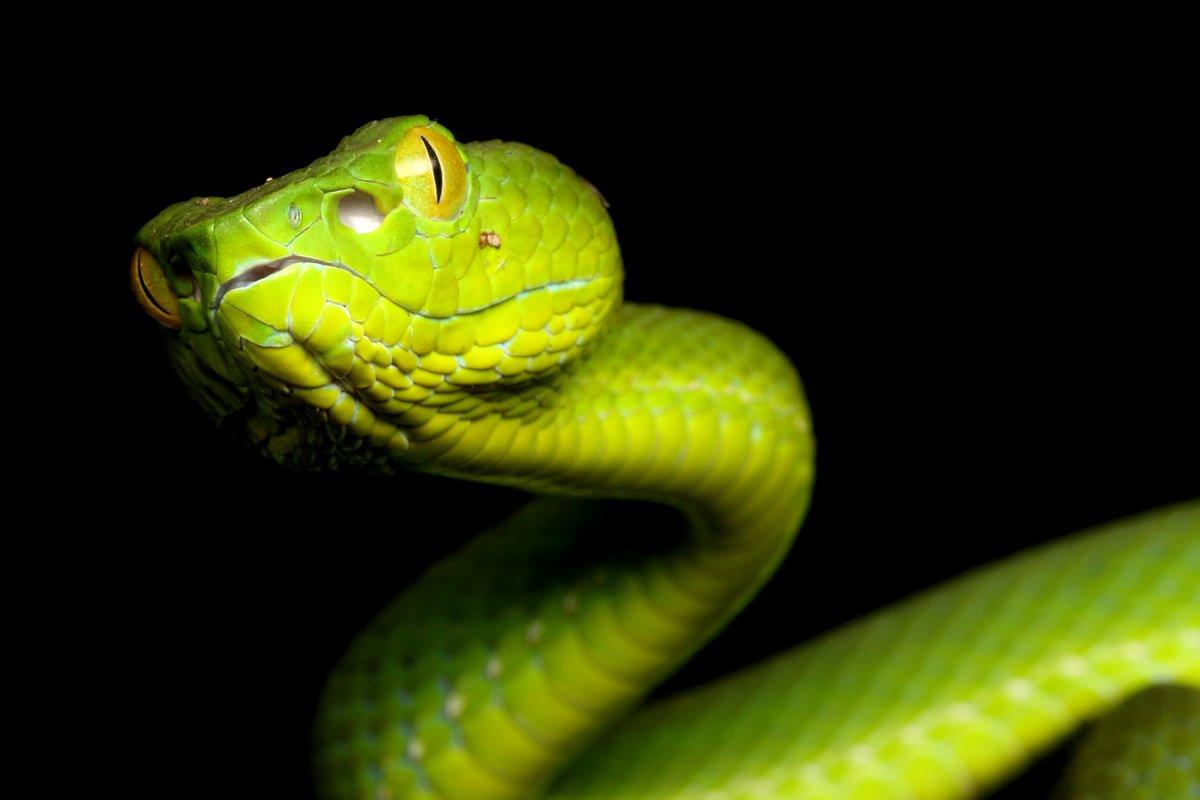 マレーシアで夜に見つけたアオハブ。まだ小さくて若い個体です。「毒ヘビ全書」で見ると、このアオハブはキリガクレアオハブという種類のようです。発見場所も本で紹介されている個体と同じくフレーザーズヒルでした。