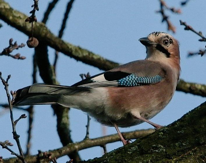 #februarivogelmaand De gaai, ook wel Vlaamse gaai genoemd, of schreeuwekster of hannebroek of meerkol @vogelnieuws @VroegeVogels @Roots_NL @staatsbosbeheer @faunabeschermin @IVNNederlandpic.twitter.com/LswKYOHllC