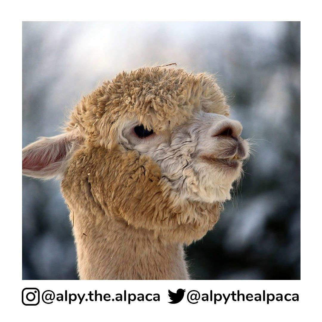 So much fluffy and chubbyness   . .  DM me for Credit/Removal  . . . . . #alpy #alpy.the.alpaca #alpaca #alpacagram #alpacalover #alpacas #alpacasofinstagram #alpacaworld #dailyalpaca #lllama #llamas #alpaka #alpakas #alpaga #alpagas #アルパカ #alpacalove #альпакаpic.twitter.com/S9L5PpzVFG