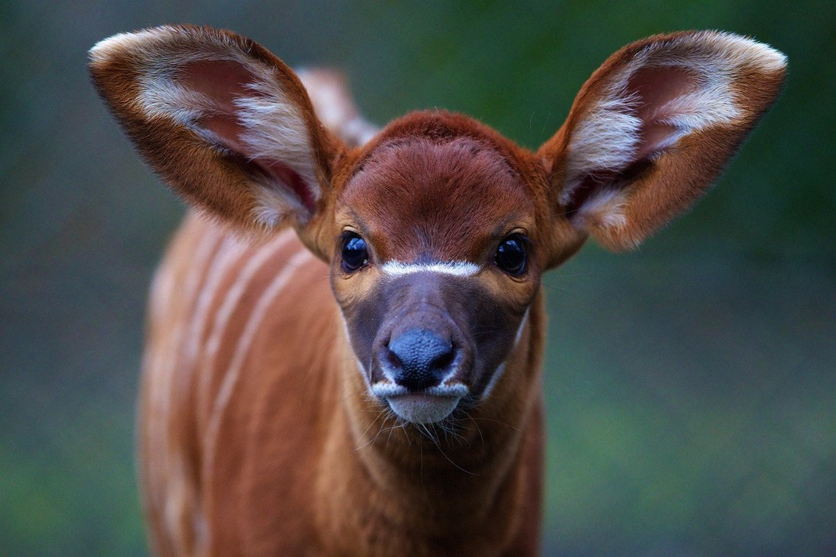 The Bongo of equatorial Africa eats the charred remains of trees that have been struck by lightning to supplement its diet with salt and minerals #wildlife #didyouknow #friends