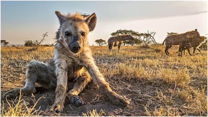 Oh my god, Here is a hidden camera! #faceofafricaadventures #kenyasafari #kenyasafariholiday #kenyasafaripark #kenyasafaritour #kenyasafaris #kenyasafariholidaytours #kenyasafaribookings #hunting #lion  #babylion #hyena #babyhyena