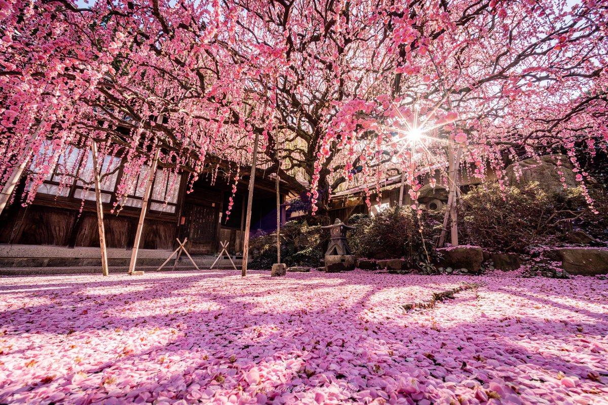 この景色を見るのに4年かかりました見渡す限りピンクに染まる枝垂れ梅が美しい#淡路島