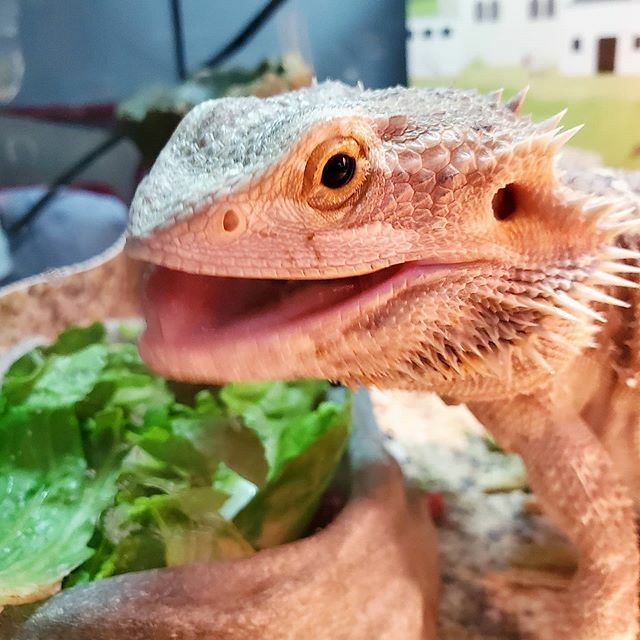 Who's your favorite pet? . Today is Love Your Pet Day! I'm celebrating with Spike, our bearded dragon.  . Tell me about your favorite pet! . . #loveyourpetday #pets #favorite #beardeddragonsofinstagram #beardie #favoritepet #spike https://ift.tt/3bW672m pic.twitter.com/q68oVp6KTe